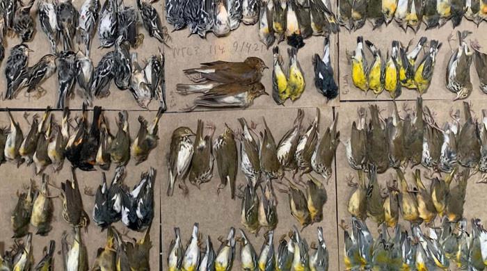ویڈیو: نیویارک میں شیشے کی بلندو بالا عمارتیں کسطرح پرندوں کی موت کا سبب بنتی ہیں؟