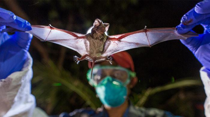 لاؤس کے غاروں میں موجود چمگادڑوں میں کورونا جیسا وائرس موجود ہے: تحقیق