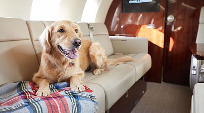 مالک نے پالتو کتے کیلئے  5 لاکھ روپےمیں ہوائی جہاز کا بزنس کلاس کیبن بک کرالیا